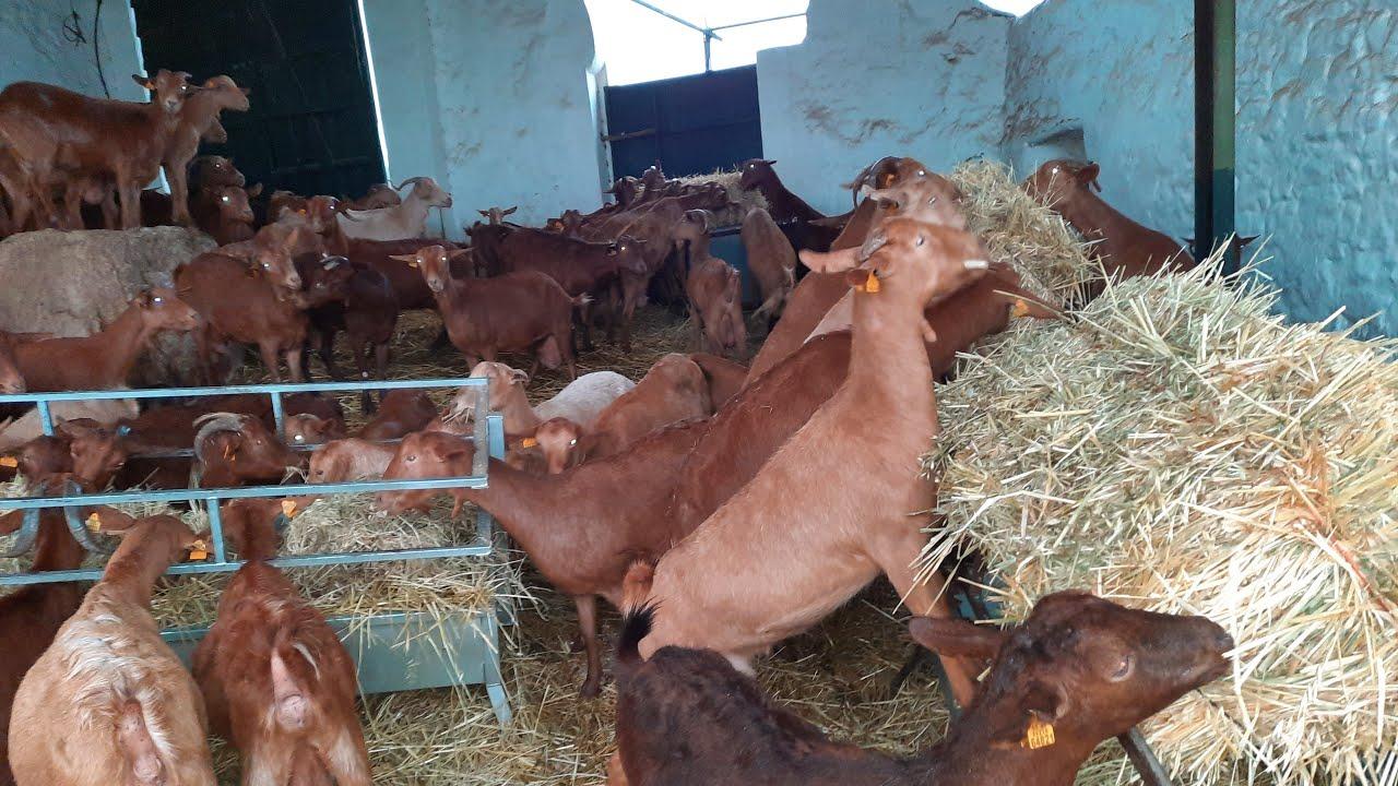 أمطار غزيرة الان من الكوري مع الماعز 🌧🌧🐐🐐🇪🇸