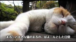 http://columbia.jp/dosukoimaru/ 2011.9.28発売 DVD「どスコい座り猫、...
