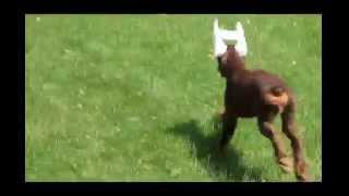 Doberman Pinscher Puppy For Sale