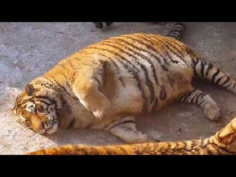 Obese Siberian tigers in Chinese zoo; Zoo tiger takes interest in woman's baby bump - Compilation
