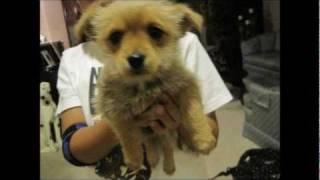 Pomeranian Yorkshire Mix Puppy For Sale