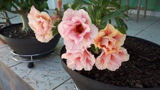Rosa do Deserto com Muitas Flores