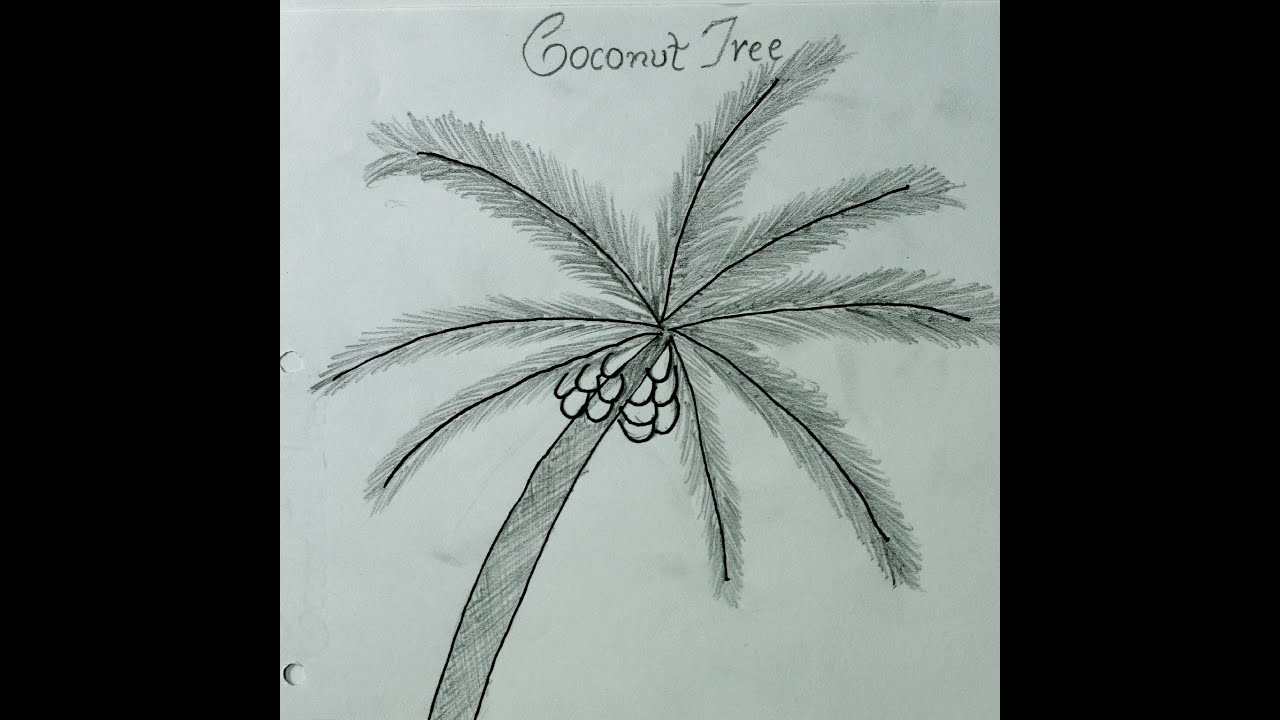how to draw coconut tree कोकोनट पेड़ कैसे  how to draw coconut tree कोकोनट पेड़ कैसे बनाये how to make coconut