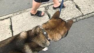 四国犬・天弓号13歳。最近、逆くしゃみのような症状を起こすので、獣...