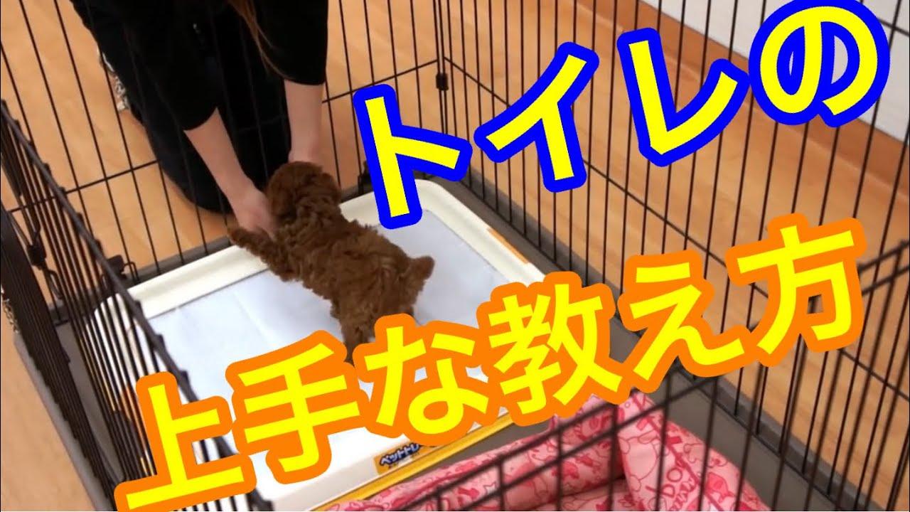 しつけ の 子犬 トイレ
