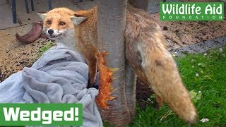 How did a FOX get wedged in a tree?!