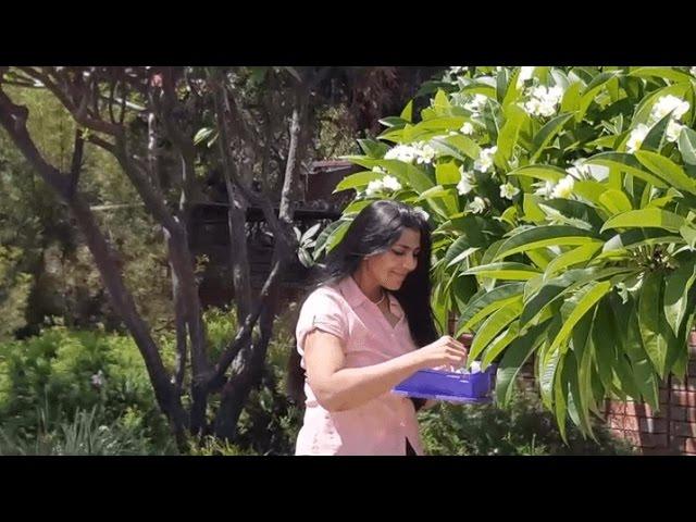 Ah, frangipanis! Lovingly picked each morning to delight the senses...