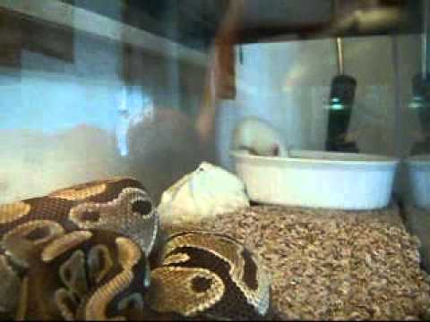 Boa Constrictor Vs Rat Epic Battle Slipknot Dualty Youtube