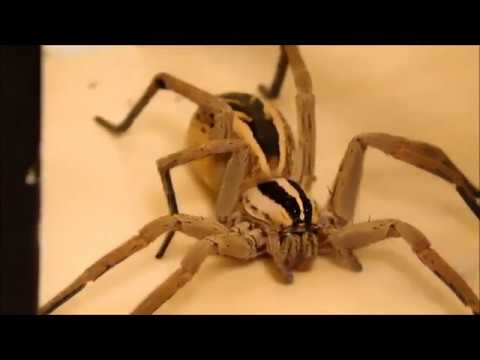 WOLF SPIDER FANGS.....CLOSE UP --  Part 3 Of 4