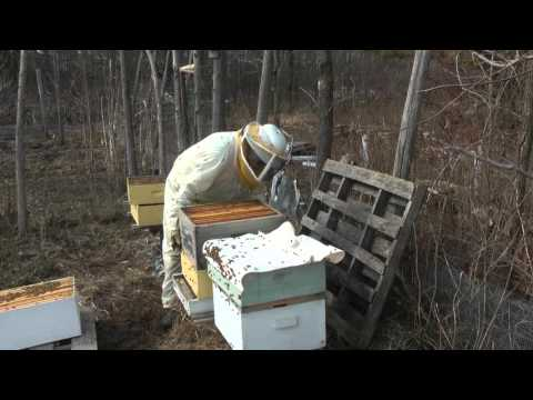 Cold climate honey bee colony survives winter