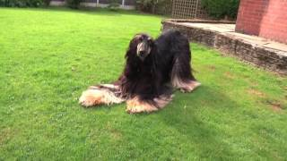 Afghan Hound plays with camera