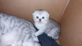 КОШКА МАМА УХАЖИВАЕТ ЗА КОТЯТАМИ 😻 ИГРЫ С КОТЯТАМИ 🐱 МИЛЫЕ КОТЯТА KITTEN Scottish Fold Cat