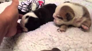 AKC English Bulldog puppies 2 weeks old