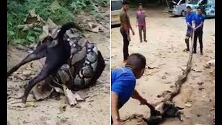 Men fight off massive python after it tried to strangle a dog to death - 247 news