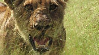 声:諏訪部順一。 激しい戦いを繰り広げるライオンやヒョウ、ハイエナた...
