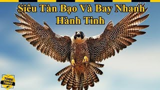 🔴 Chim Cắt Lớn - Sinh Vật Máu Lạnh Với Biệt Danh Chiến Cơ Của Bầu Trời