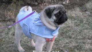 Celeste The Pug With Clothes