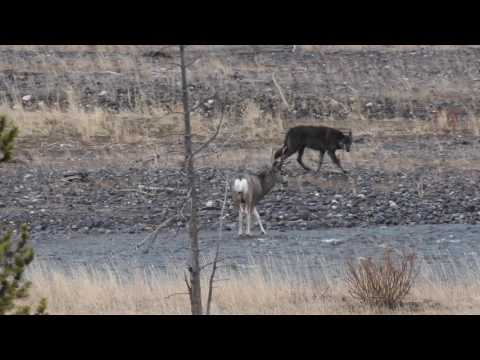 A Wild Wolf, 926 F of Yellowstone, hunts a mule deer buck