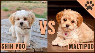 Shih Poo vs Maltipoo ¿Qué raza de perro es mejor? | Perros Mundo