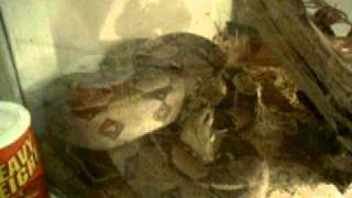 Ball Python and Red Tail Boa Set-Up