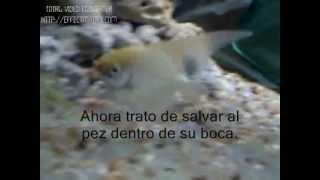 Pez Angel agresivo (mata pez)