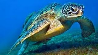 Sea Turtles Documentary HD- Turtle documentary film