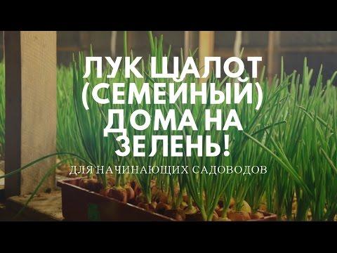 Лук шалот из Садов России. Результат. - YouTube