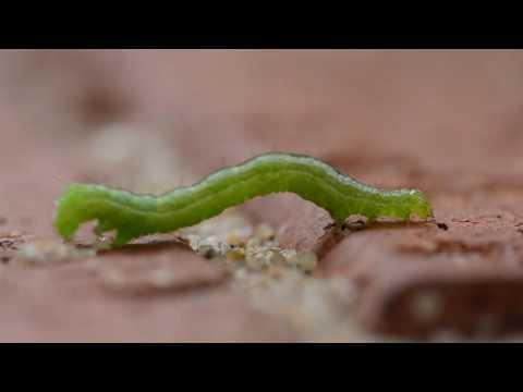 Inchworm: Geometridae caterpillar