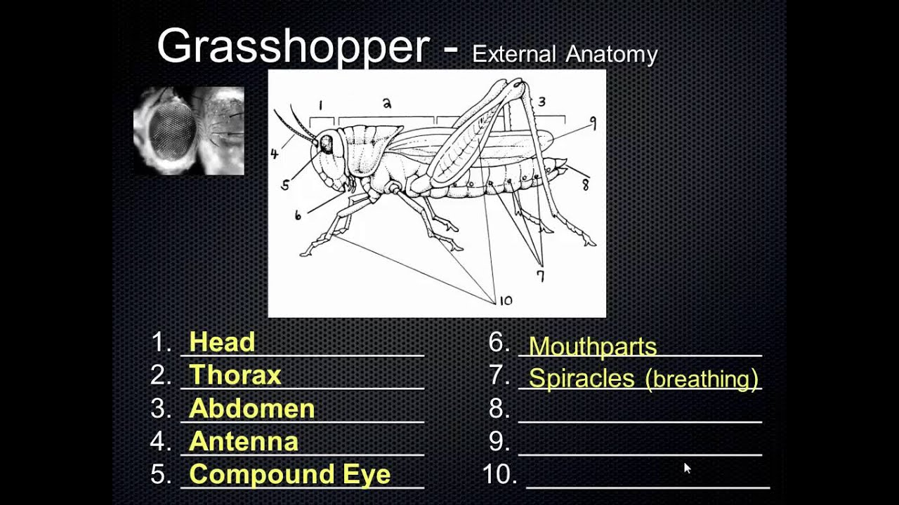 SCI7 - Grasshopper Anatomy - YouTube