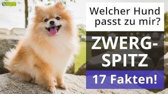 Ist ein Zwergspitz der richtige Hund für mich? 17 Fakten über Zwergspitze!
