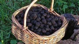 Back To Eden Gardening~Mulching Blackberries
