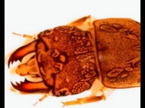Hellgrammites and Dobsonflies
