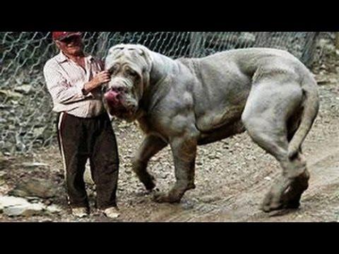 أضخم 10 كلاب على الأرض !
