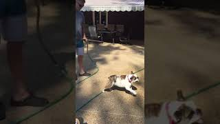 Coco bulldog attacks thumbnail