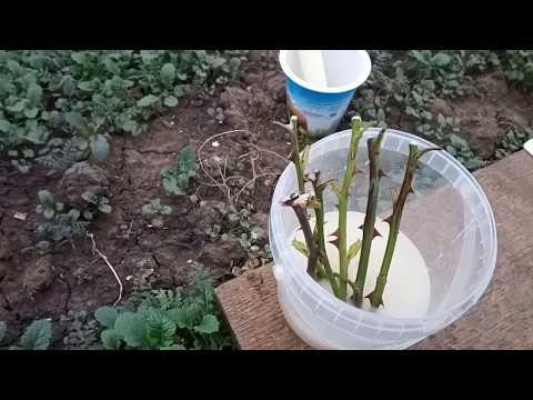 Выращивание розы из черенка в домашних условиях осенью