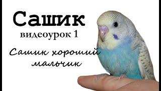 """Учим попугая по имени Сашик говорить. Видеоурок 1: """"Сашик хороший мальчик"""""""