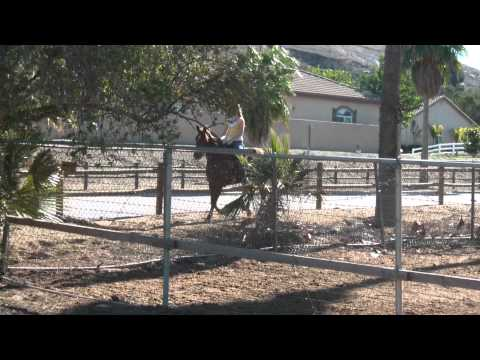 Dixie (tennessee walker mare)