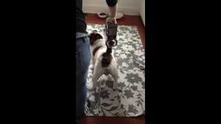 Using The Dyson To De Shed My English Bulldog.