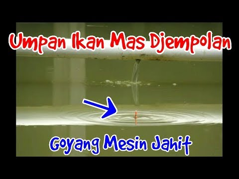 Umpan Ikan Mas Djempolan ( part -2 )
