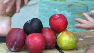 **Grow5 Different Kinds of Plum Trees** +Plum Trees That Bear 1st Year++