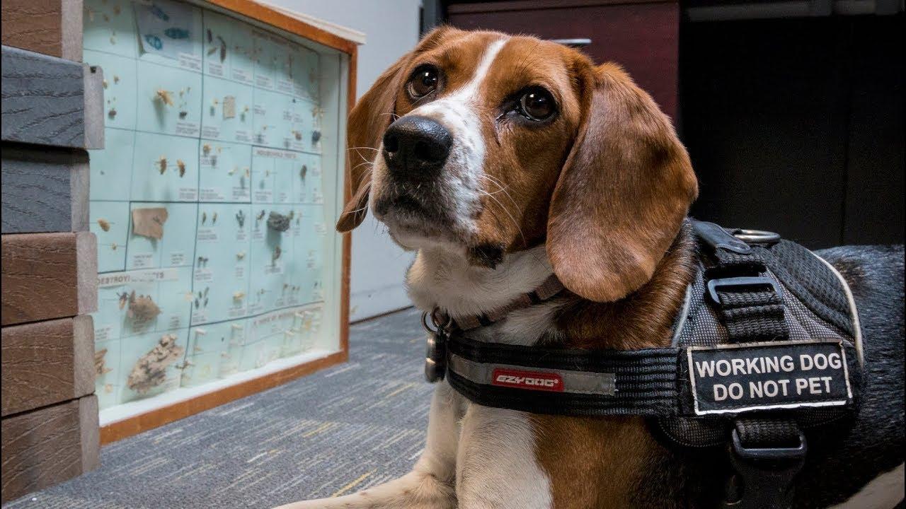 Stella Ottawa S Resident Bedbug Sniffing Dog Youtube