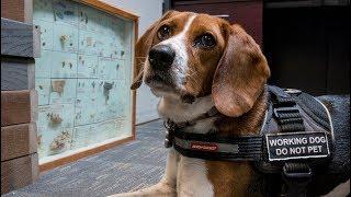Stella, Ottawa's resident bedbug sniffing dog