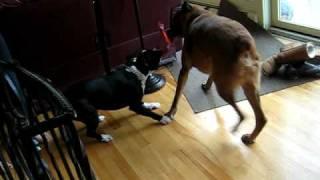 Puppy Vs Dog - Bullyness In Tug O War!