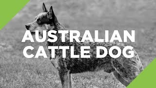 Australian Cattle Dog  The Ultimate Guide