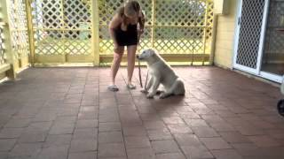 Maremma puppy learning the command 'stay'