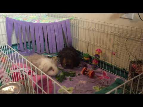Texel and Peruvian Guinea Pigs Eating Veggies