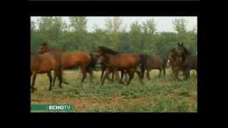 Hazánk híres ménesei és a hagyományos lófajták