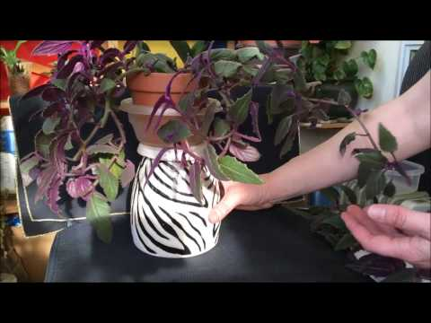 Propagating Velvet Plant from cuttings