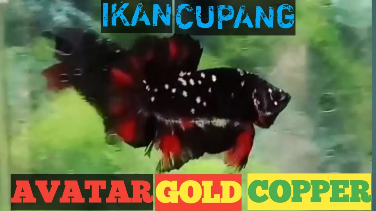 VIRALL IKAN CUPANG AVATAR GOLD COPPER - YouTube