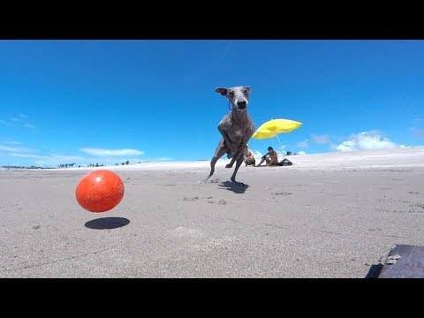 Italian Greyhound | playing ball on the beach | Cambito